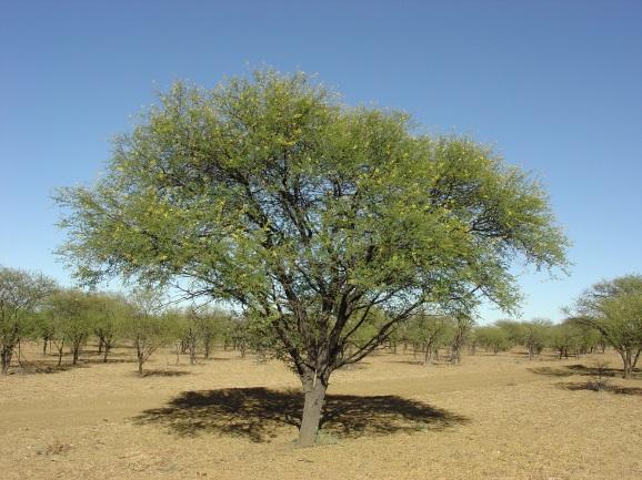 Prickly acacia habit