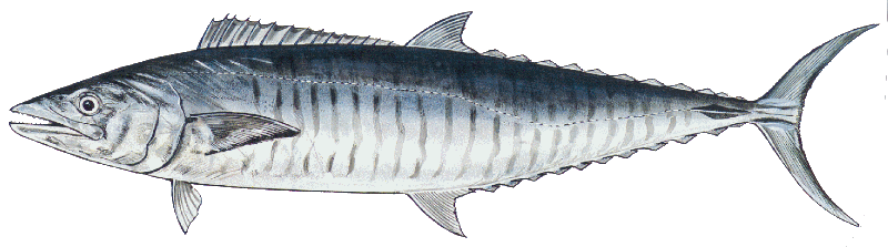 Mackerel Spanish
