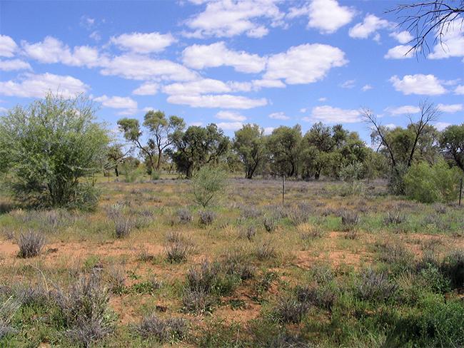 Buffel grass - infestation