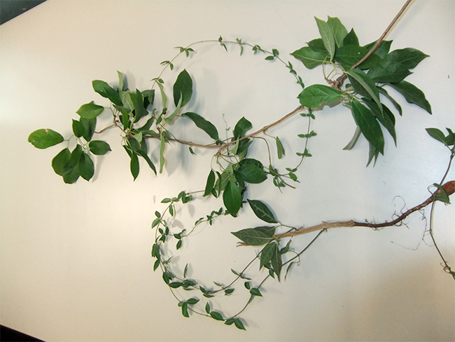 Cat's claw creeper - stems and branches
