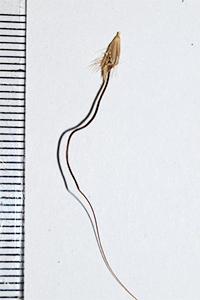 Grader grass - seeds