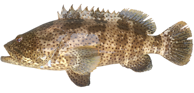 Rockcod blackspotted