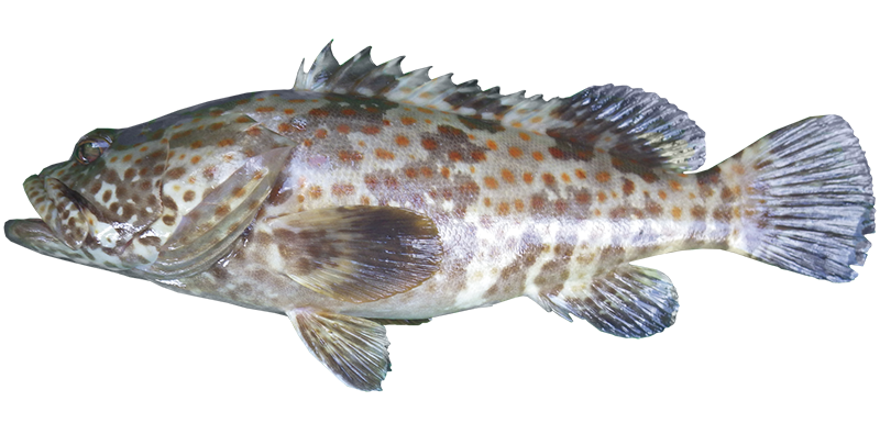 Goldspotted cod