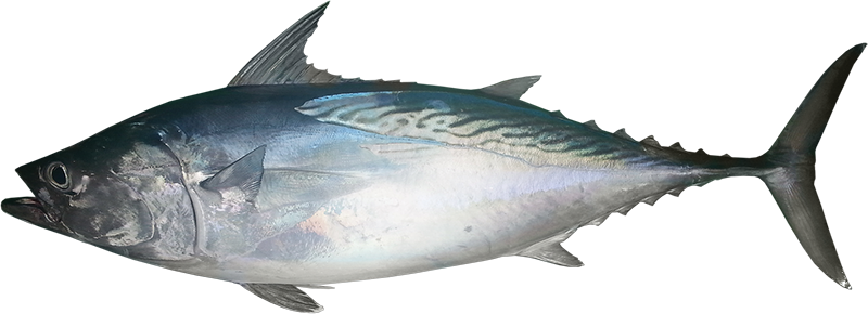 Tuna mackerel