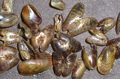 Asian bag mussel