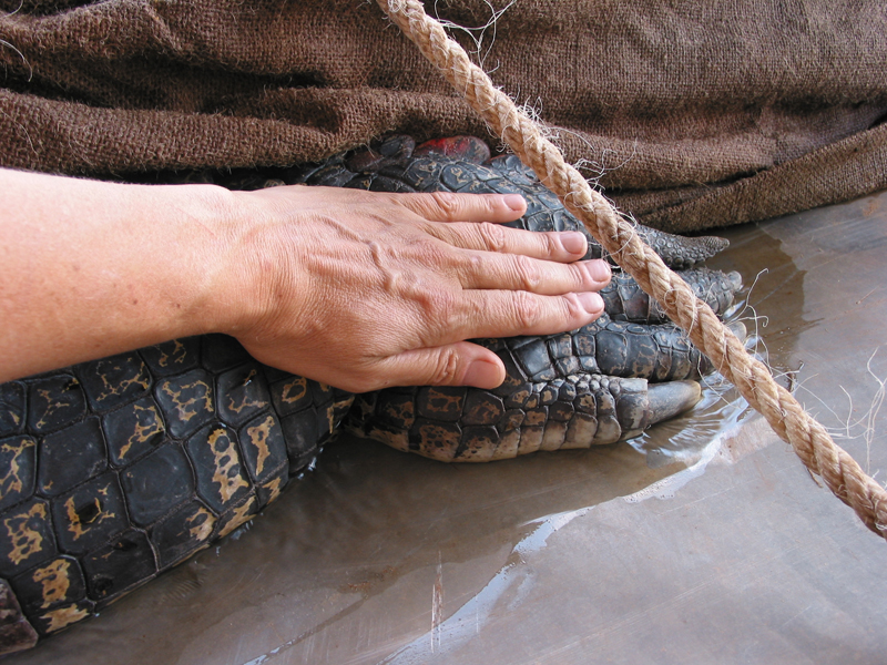Hands:</br> The largest saltwater croc captured in the NT was from the Mary River in 1974. It measured 6.4 metres in length.