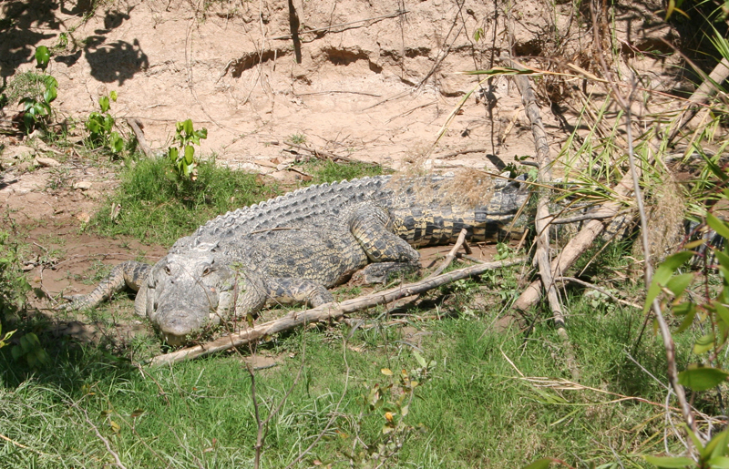 Crocs can move well on both land an in water:</br> Crocs can walk on land at speeds of 1-2km/hr. The can have short bursts of speed, rarely greater than 10km/hr, but the animal will tire quickly.
