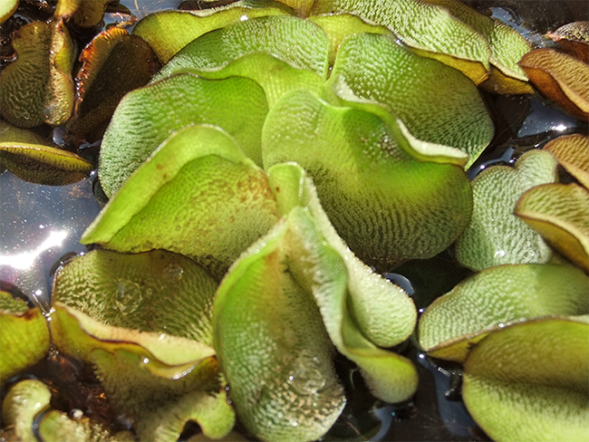 Salvinia - leaves