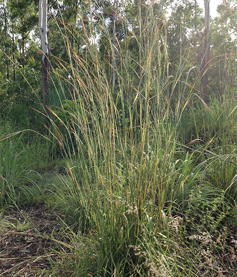 Giant spear grass (Heteropogon triticeus)