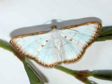 Leaf feeding moth (Leuciris fimbriaria) - adult