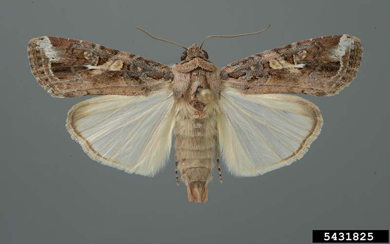 Male fall armyworm adult ©Lyle J. Buss/University of Florida/Bugwood.org CC BY 3.0 US