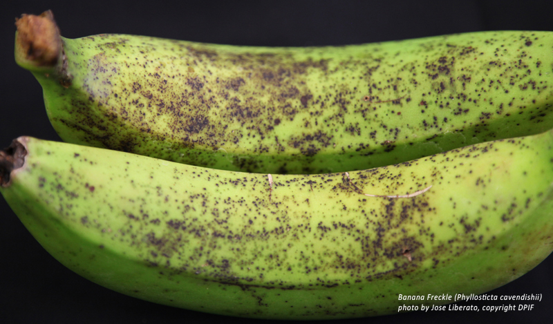 Banana freckle on fruit