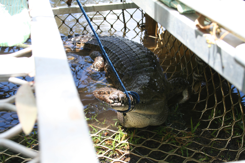 Freshwater crocodile in trap: A freshwater croc in a trap with its jaws secured.