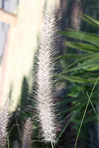 Fountain grass - flowers
