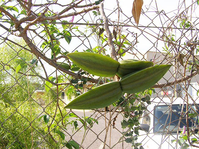 Rubber vine - seed pods (true)