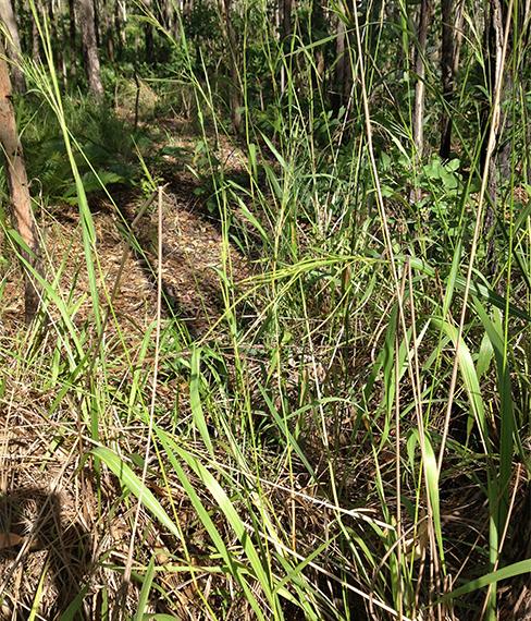 Northern cane grass / Mnesithea rottboellioides