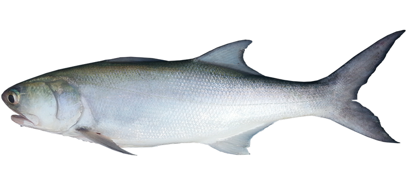 Blue threadfin