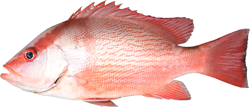 Saddletail snapper