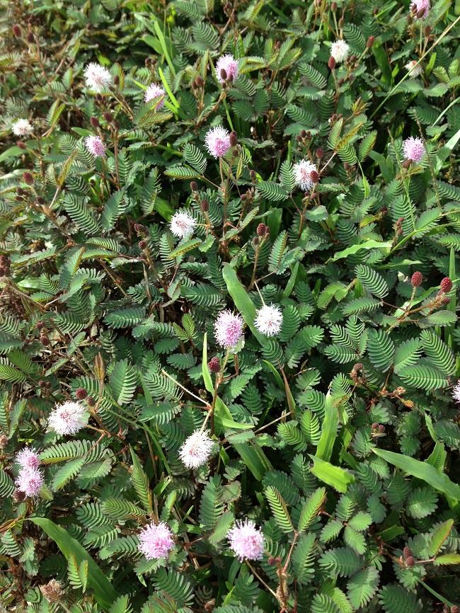 Sensitive weed (mimosa pudica)