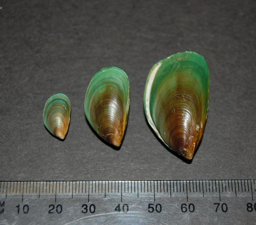 Asian green mussel