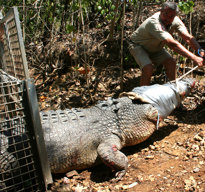 Large saltwater crocodile and trap: This croc measured almost 5m in length. The eyes are covered to help keep the animal calm.