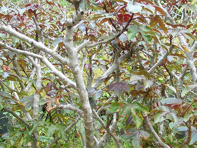 Bellyache bush - stems and branches
