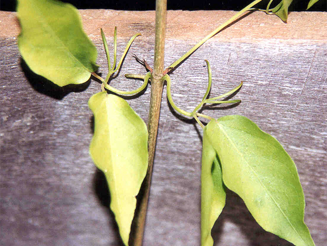 Cat's claw creeper - claws