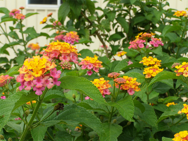 Lantana - flowers (common)