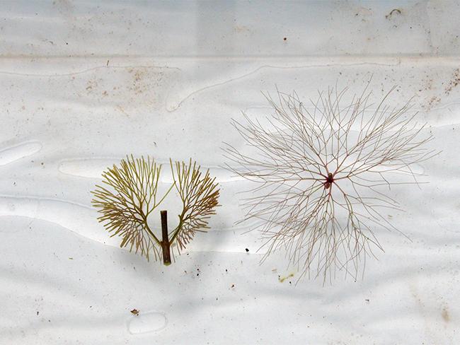 Cabomba (left) beside hornwort (right)