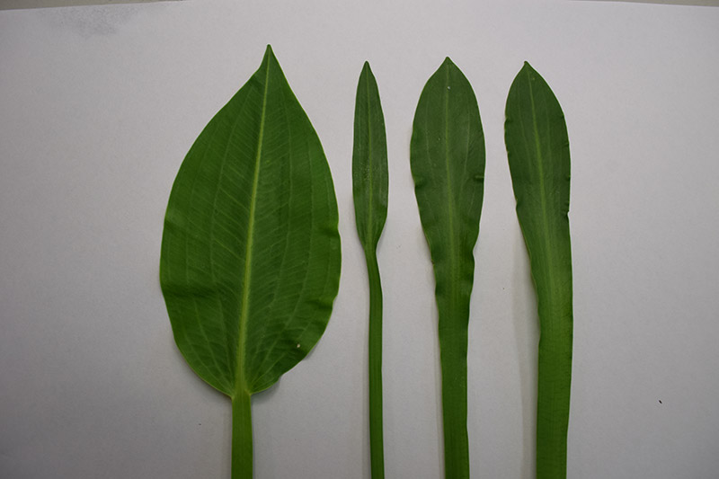 Sagittaria leaves