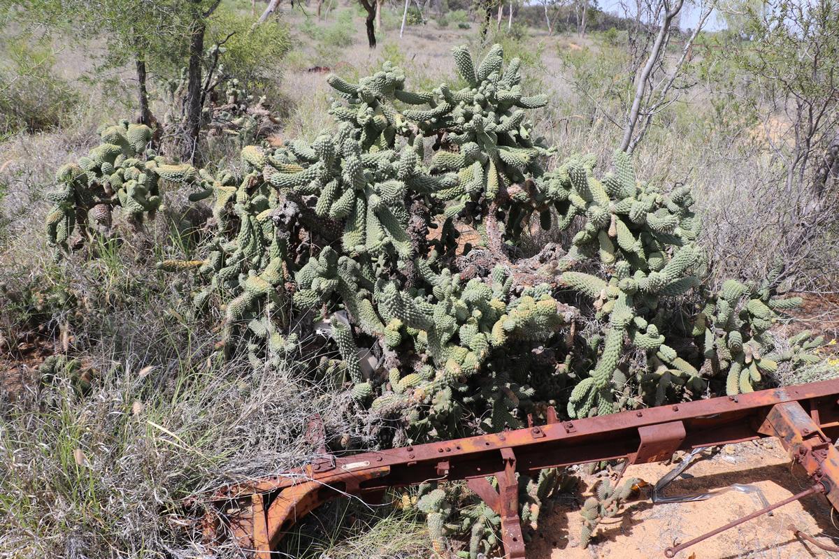 Rope cactus - infestation
