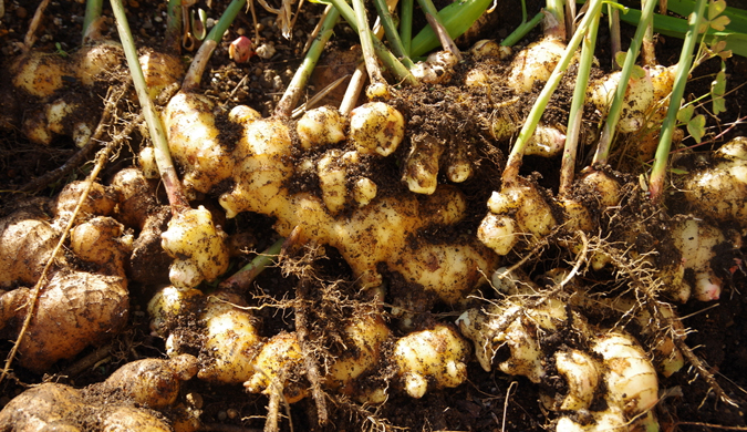 Ginger trial is good news for Territory producers
