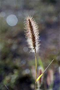 Buffel grass - flowers