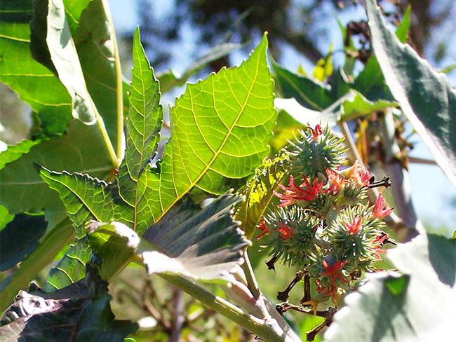 Castor oil plant - fruit and seeds