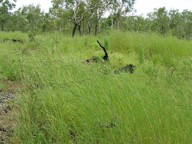 Grader grass - infestation