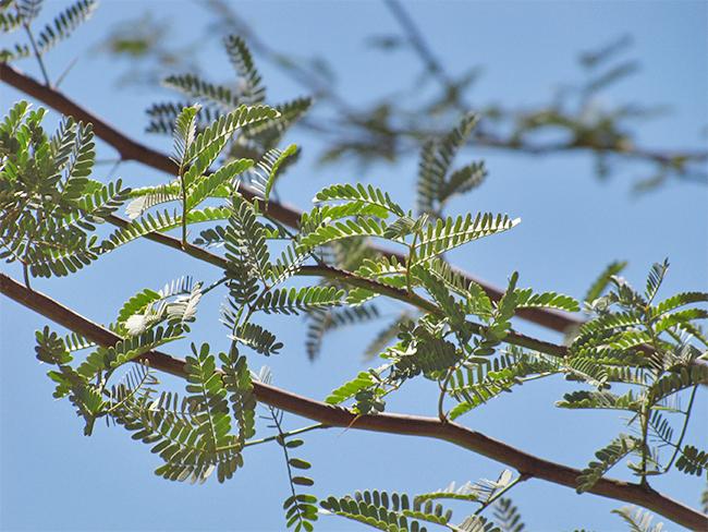 Mesquite - leaves