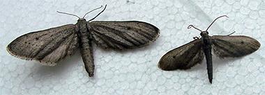 Eueupithecia cisplatensis - female (left) and male (right, (Photo Time Heard, CSIRO)