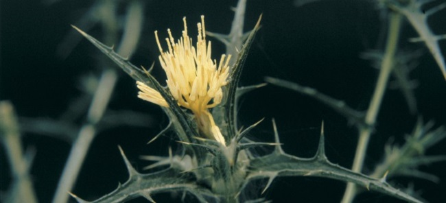 Saffron thistle - flower close-up