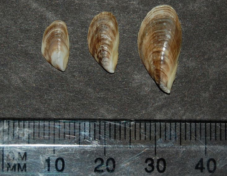 Black-striped Mussel 1