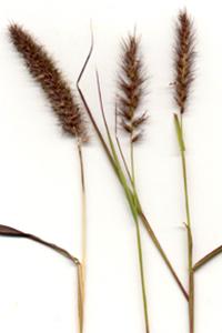 Buffel grass - seeds