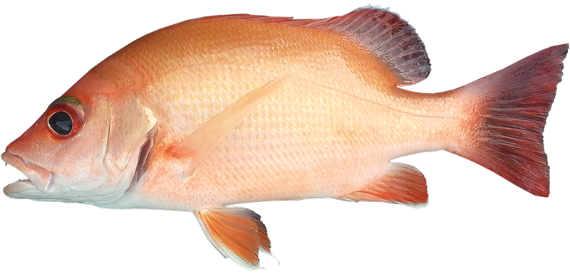 Indonesian snapper