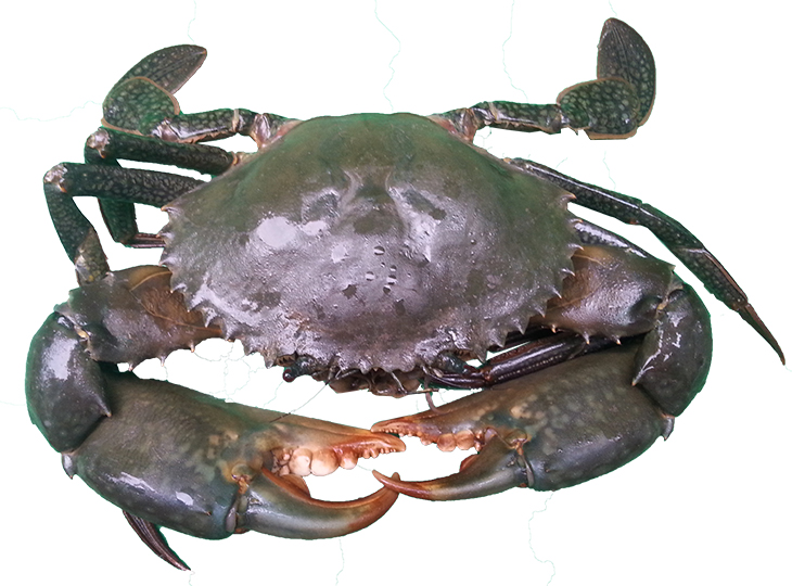mud crab nt gov au
