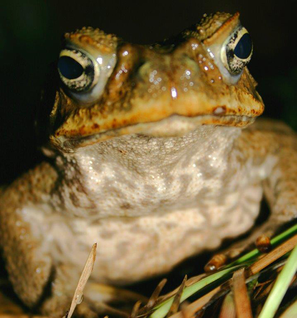 Cane toad - close up