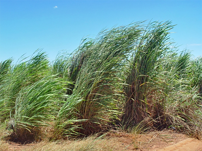 Gamba grass - habit