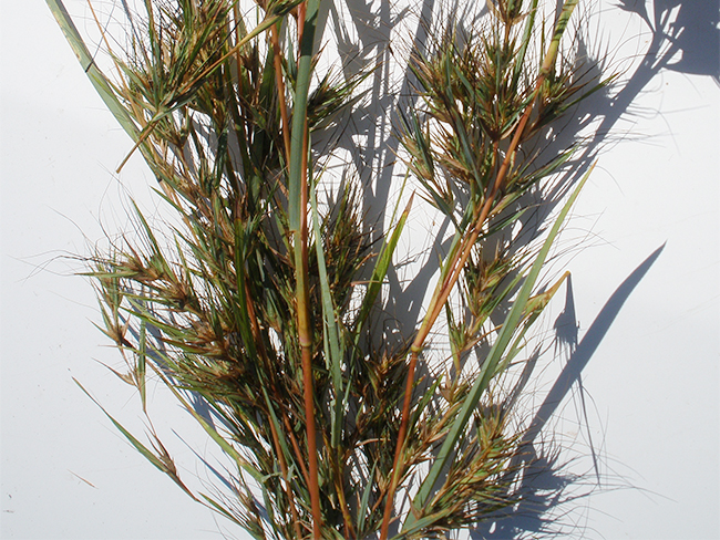 Grader grass - stems and branches