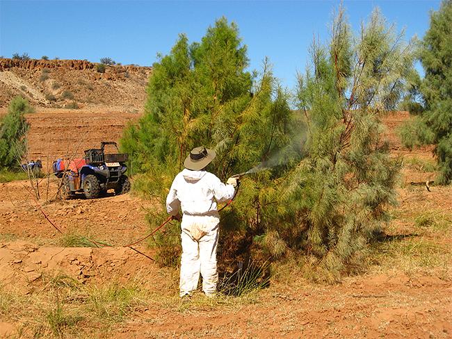 Foliar spraying of athel pine