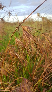 Christmas grass - flower spikelets hayed off