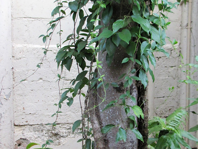 Cat's claw creeper - habit