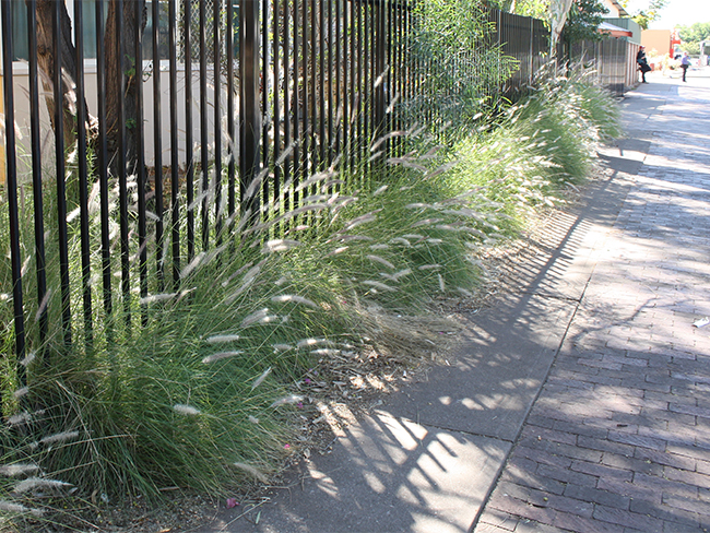 Fountain grass - infestation