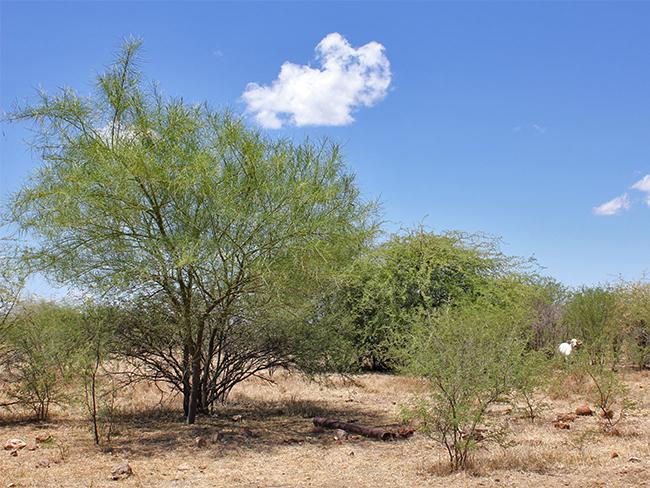 Mesquite - spread
